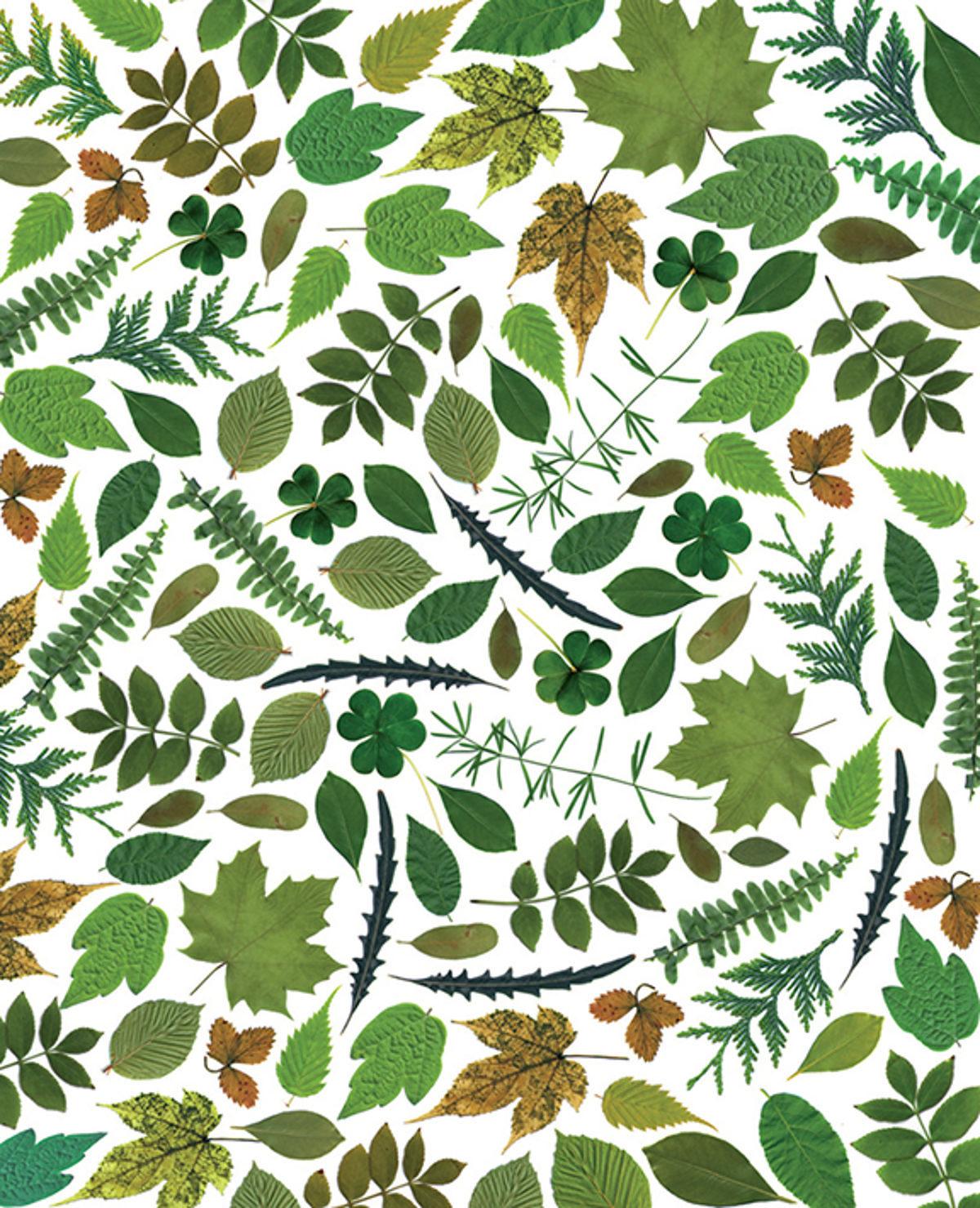 feuilles séchées pour un herbier