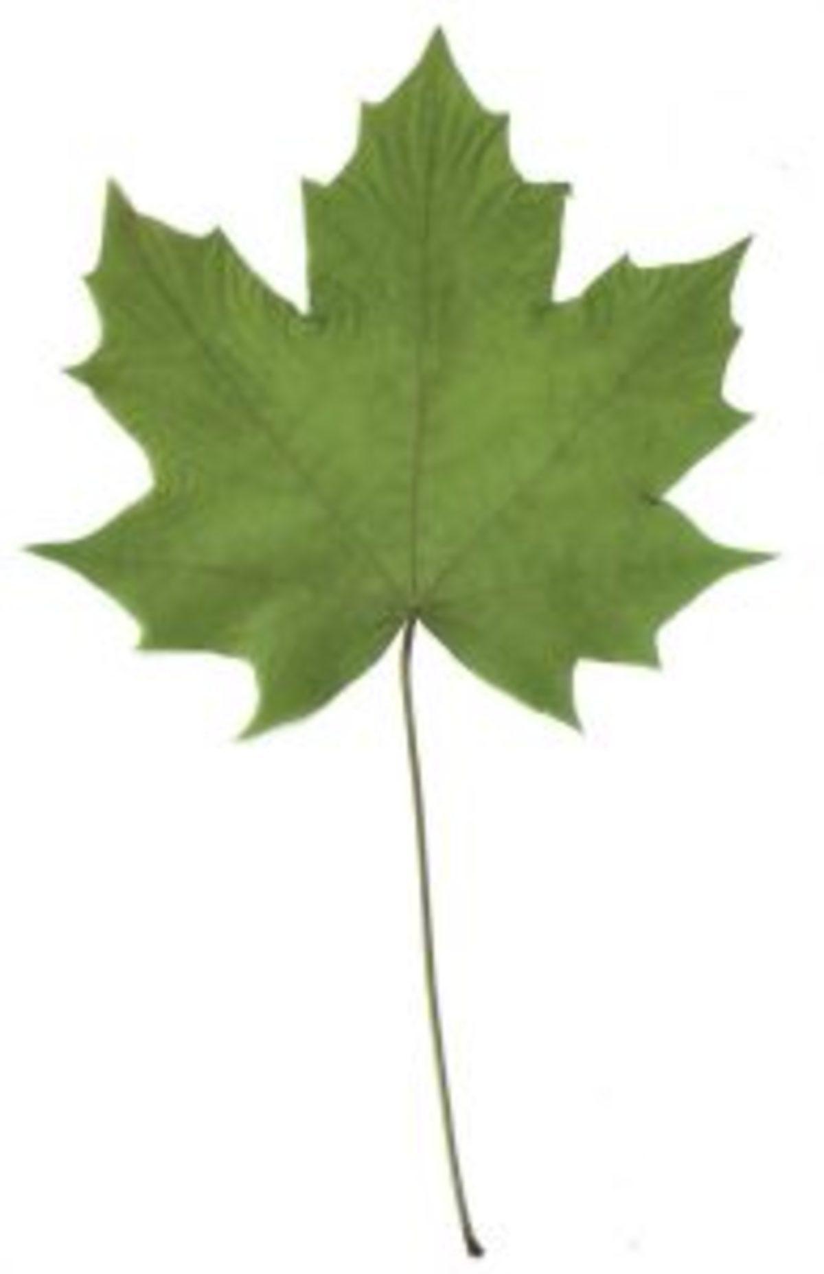 herbier séchage feuille