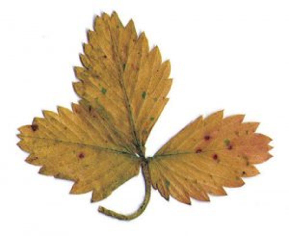 herbier séchage feuille marron