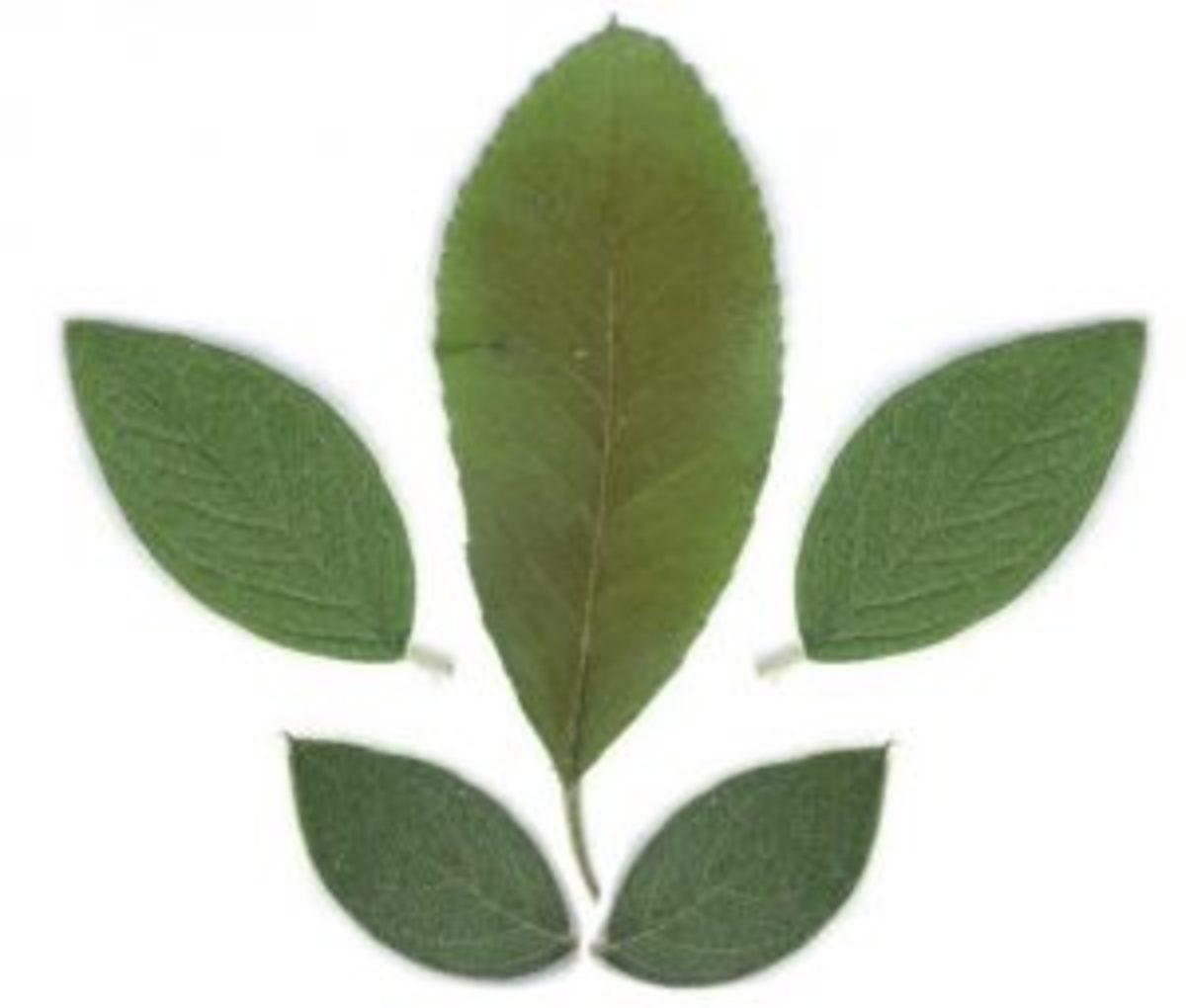 herbier séchage feuilles