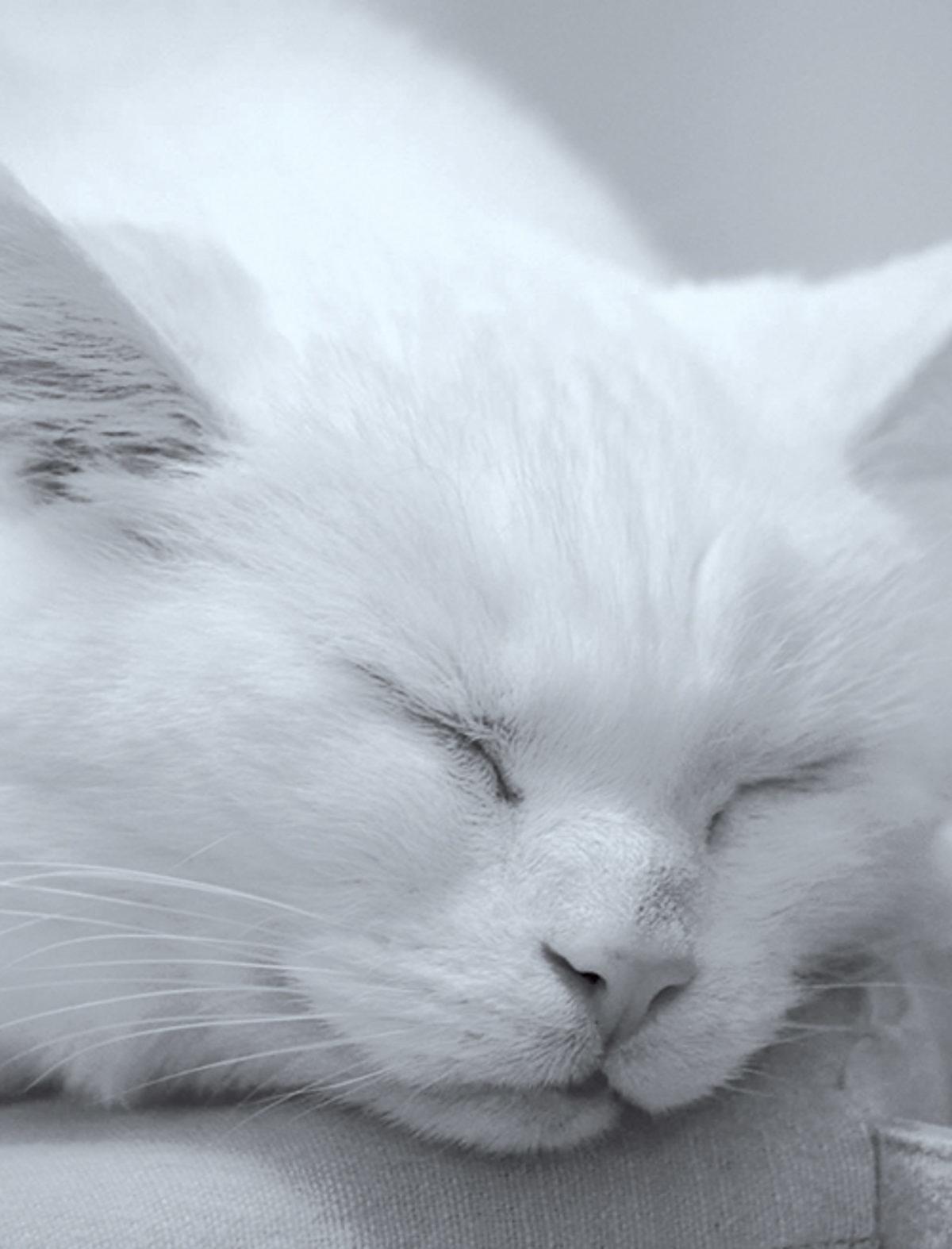 Chat blanc ronronthérapie