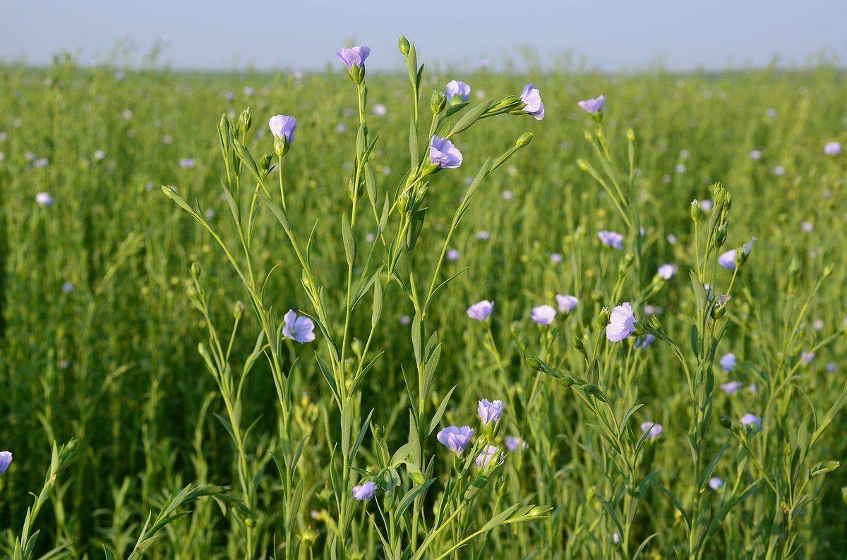 fleur bleue de lin
